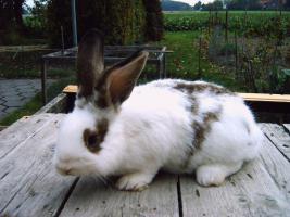 Stall-Kaninchen, Männchen, 1/2 Jahr, Mischling zu verkaufen