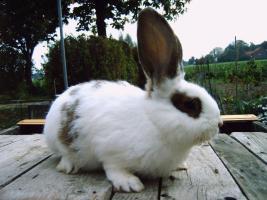 Foto 3 Stall-Kaninchen, Männchen, 1/2 Jahr, Mischling zu verkaufen