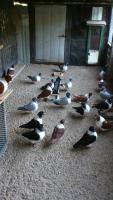 Strasser Tauben