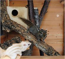 Foto 2 Streifenhörnchen Rothörnchen Chin.Baumhörnchen handzahm