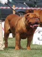Foto 4 Stud-Champion Bordeauxdogge für die Zucht zur Verfügung