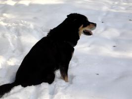 Foto 2 Suche Dringn ein neues zu Hause für mein Mischling Rottweiler