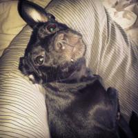 Suche Pflegefamilie für Zwergpinscher/Chihuahua Mix