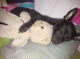 Foto 2 Suche Pflegefamilie für Zwergpinscher/Chihuahua Mix