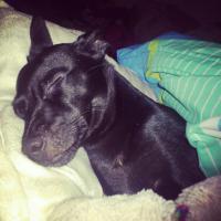 Foto 3 Suche Pflegefamilie für Zwergpinscher/Chihuahua Mix