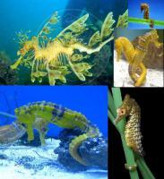 Suche Seepferdchen, Seenadeln und Fetzenfische