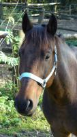 Suche guten zuverlässigen Reiter-/in für unseren span. Mix, 155 cm, Verlasspferd