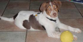 Suchen für unseren Labrador Australian Shepherd Mischling ein neues Zuhause!!!