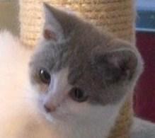 Foto 4 Süper tolle Britisch Kurzhaarkätzchen