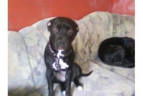 Süße 7 Monate alte Kinderliebe Labrador - Stafford - Pittbull - Mischlingshündinn zu Verkaufen