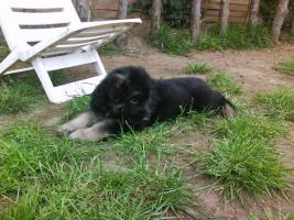 Foto 5 Süße Altdeutsche Schäferhund Welpen zu verkaufen!!