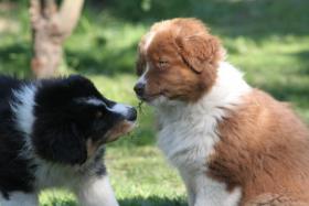 Süße Australian Shepherd Welpen mit ASCA Papier