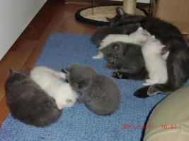 Süße BKH-Kätzchen
