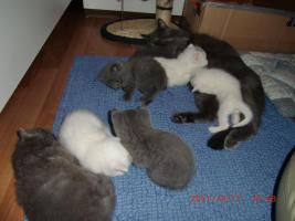 Foto 2 Süße BKH-Kätzchen