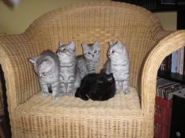 Süsse BKH Kitten mit Stammbaum in gold tabby, silver tabby