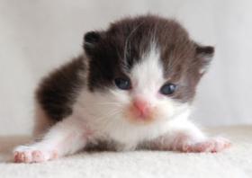 Foto 2 Süße BKH-Kitten suchen ein neues Zuhause