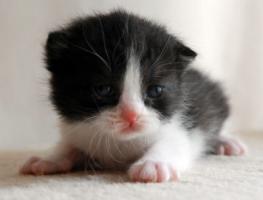Foto 3 Süße BKH-Kitten suchen ein neues Zuhause