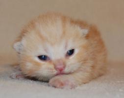 Foto 5 Süße BKH-Kitten suchen ein neues Zuhause