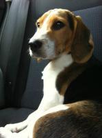 Foto 2 Süße Beagle-Hündin , ,Lotte, , 4 Monate jung, sucht dringend ein neues zu Hause