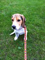 Foto 3 Süße Beagle-Hündin , ,Lotte, , 4 Monate jung, sucht dringend ein neues zu Hause