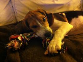 Foto 4 Süße Beagle-Hündin , ,Lotte, , 4 Monate jung, sucht dringend ein neues zu Hause