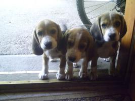 Foto 5 Süsse Beagle Welpen zu verkaufen!-KOSTENLOSE LIEFERUNG!