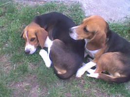 Foto 6 Süsse Beagle Welpen zu verkaufen!-KOSTENLOSE LIEFERUNG!