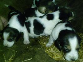 Foto 2 Süsse Beagle Welpen zu verkaufen!-KOSTENLOSE LIEFERUNG!