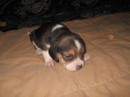 Foto 3 Süsse Beagle Welpen zu verkaufen!-KOSTENLOSE LIEFERUNG!