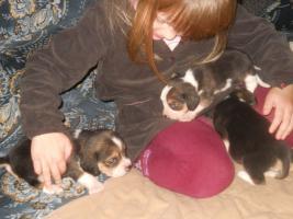 Foto 4 Süsse Beagle Welpen zu verkaufen!-KOSTENLOSE LIEFERUNG!