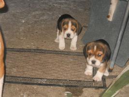 Foto 3 Süsse Beagle Welpen zu verkaufen!-KOSTENLOSE LIEFERUNG