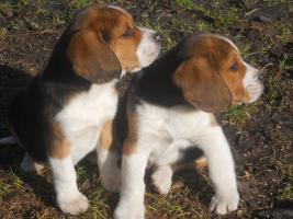 Süsse Beagle Welpen zu verkaufen!-KOSTENLOSE LIEFERUNG