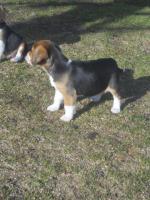 Foto 4 Süsse Beagle Welpen zu verkaufen!-KOSTENLOSE LIEFERUNG