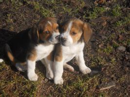 Foto 5 Süsse Beagle Welpen zu verkaufen!-KOSTENLOSE LIEFERUNG
