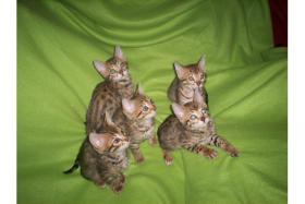 Süße Bengalkitten suchen neuens Zuhause