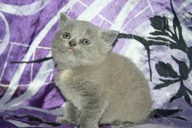 S�sse Bkh Kitten