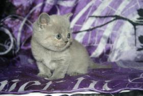 Foto 2 S�sse Bkh Kitten