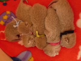 Süße Britisch-Kurzhaar-Kitten zum Verlieben