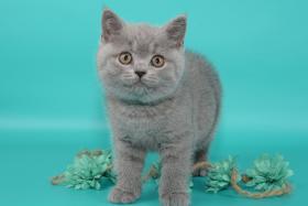 Süße Britisch Kurzhaar / Kartäuser / BKH / Kitten in blau mit Stammbaum!