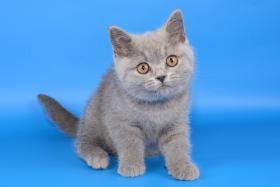 Foto 3 Süße Britisch Kurzhaar / Kartäuser / BKH / Kitten in blau mit Stammbaum!