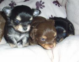 Süße Chihuahua-Welpe sucht bald ein liebevolles Zuhause