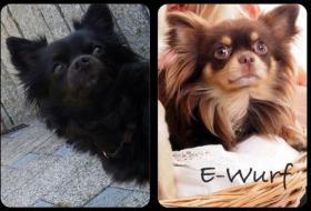 Foto 6 Süße Chihuahua-Welpe sucht bald ein liebevolles Zuhause