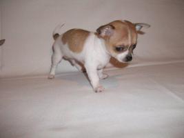 Foto 2 Süße Chihuahua Welpen