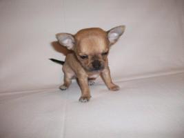 Foto 3 Süße Chihuahua Welpen