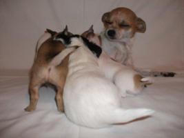 Foto 5 Süße Chihuahua Welpen