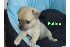 Foto 3 Süße Chihuahua-Welpen-Rüden in KH/LH aus VDH-Zucht