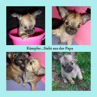 Foto 2 Süsse Chihuahua Welpen zu Verkaufen