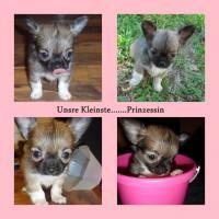 Foto 3 Süsse Chihuahua Welpen zu Verkaufen