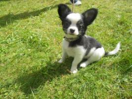 Süße Chihuahua Welpen dürfen zum 28.08.2012 ausziehen!!!!