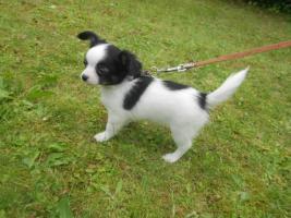 Foto 2 Süße Chihuahua Welpen dürfen zum 28.08.2012 ausziehen!!!!